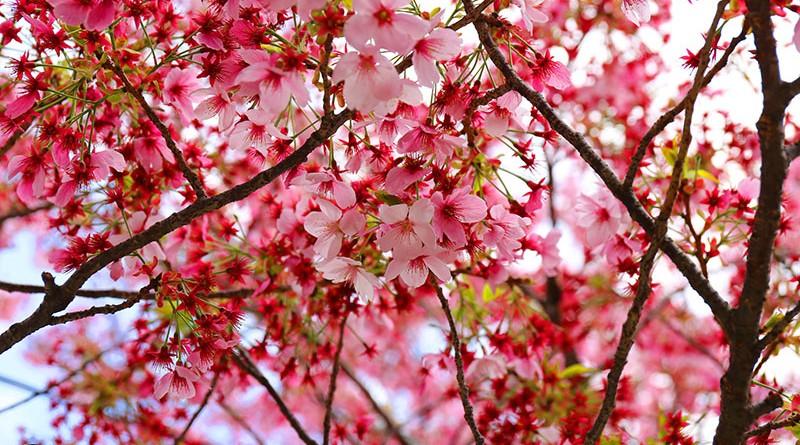 ซากุระสวยสดใส มองทีไรทำให้ใจชุ่มชื้น : ซากุระบานที่โตเกียว