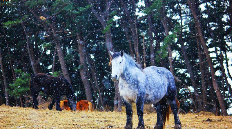 Kandachime ม้าถึก ทนหนาว ของจังหวัดอาโอโมริ