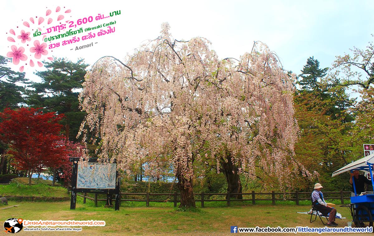ซากุระต้นใหญ่ ดอกสีชมพูบานเต็มต้น สวยดั่งภาพเขียน : เที่ยวอาโอโมริ ซากุระกว่า 2,600 ต้น ที่ปราสาทฮิโรซากิ (Hirosaki Castle)