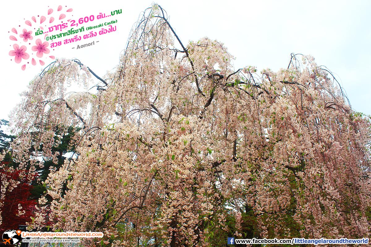 ซากุระดอกสีชมพูบานเต็มต้น สวยดั่งภาพเขียน : เที่ยวอาโอโมริ ซากุระกว่า 2,600 ต้น ที่ปราสาทฮิโรซากิ (Hirosaki Castle)