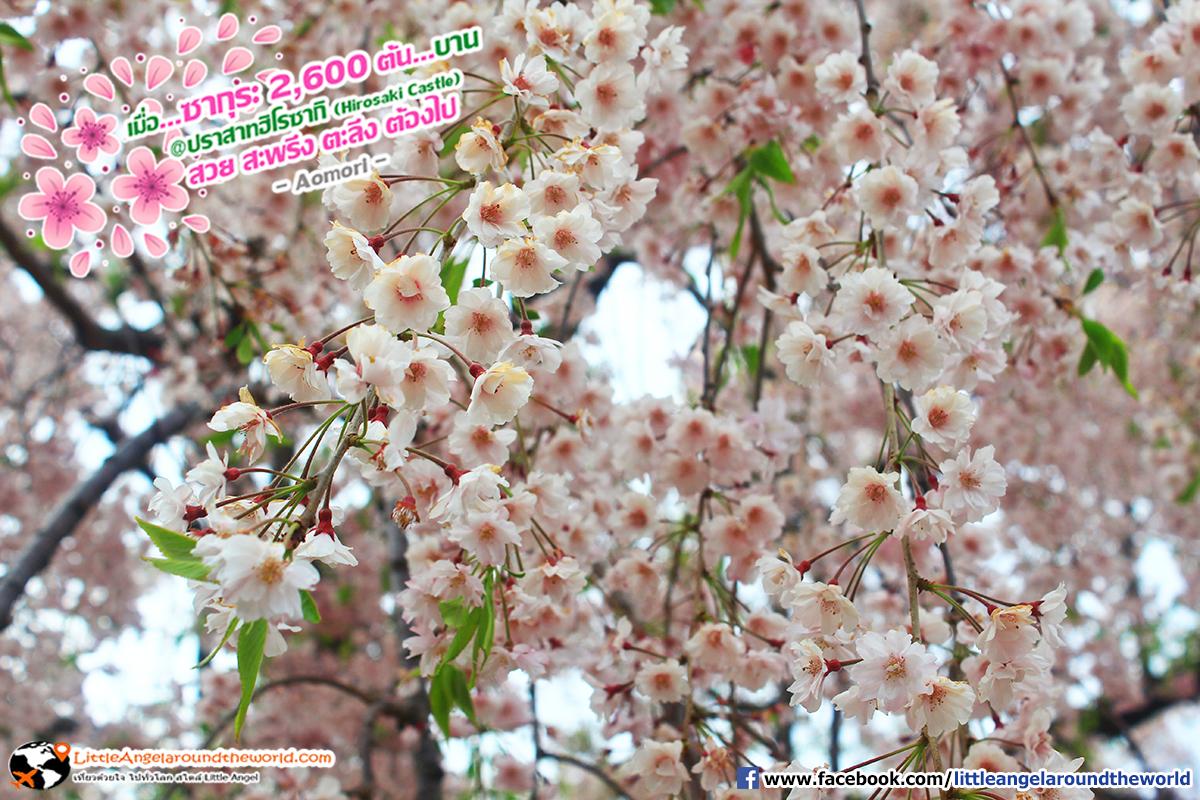 ซากุระกว่า 2,600 ต้น ที่ปราสาทฮิโรซากิ (Hirosaki Castle)