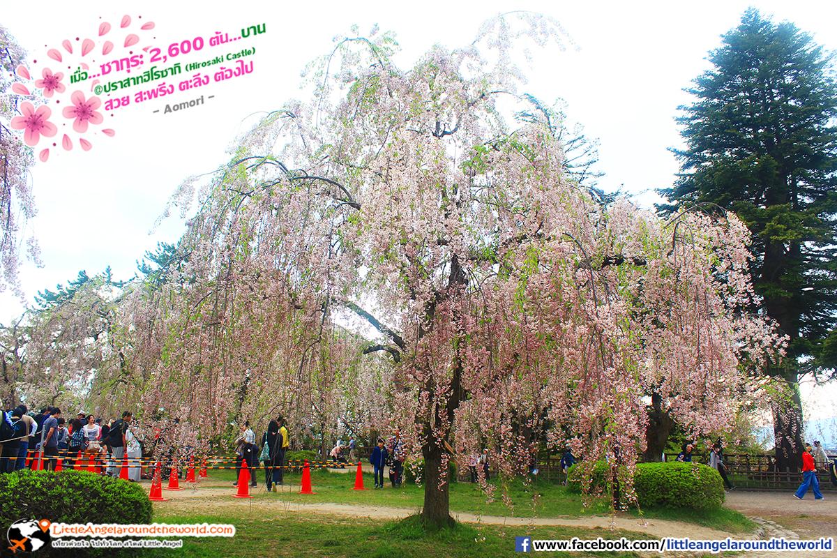 ซากุระต้นใหญ่ บานห้อยระย้าละพื้นดิน : เที่ยวอาโอโมริ ซากุระกว่า 2,600 ต้น ที่ปราสาทฮิโรซากิ (Hirosaki Castle)