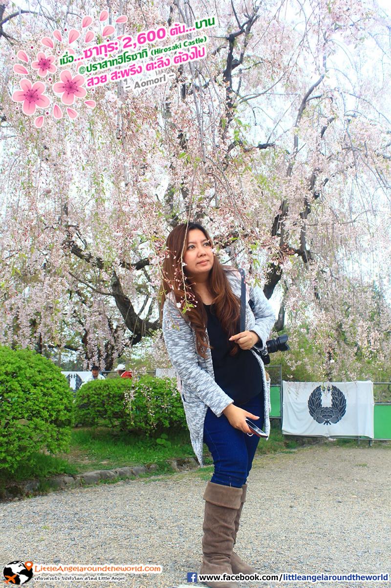 ซากุระช่อระย้า พาดผ่านหน้าเวลาเดินชม : เที่ยวอาโอโมริ ซากุระกว่า 2,600 ต้น ที่ปราสาทฮิโรซากิ (Hirosaki Castle)
