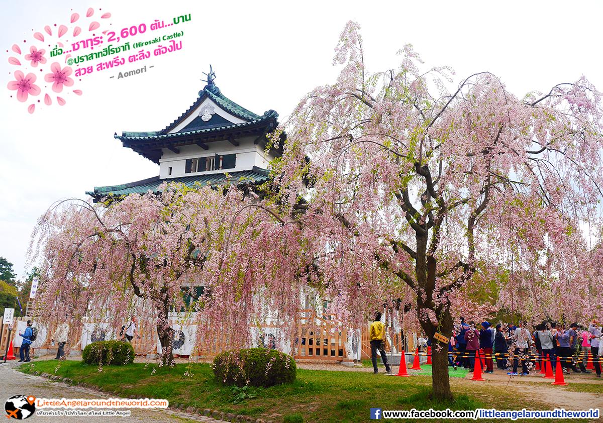 ซากุระล้อมรอบตัวปราสาท สวยงามมาก : เที่ยวอาโอโมริ ซากุระกว่า 2,600 ต้น ที่ปราสาทฮิโรซากิ (Hirosaki Castle)