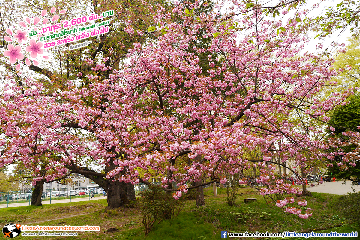 ซากุระสีชมพูบานเต็มต้น : เที่ยวอาโอโมริ ซากุระกว่า 2,600 ต้น ที่ปราสาทฮิโรซากิ (Hirosaki Castle)