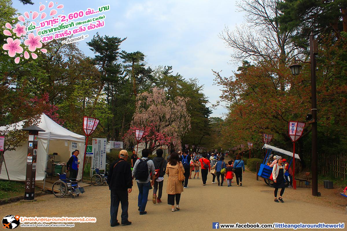 มีซากุระให้ชมตลอดสองข้างทาง : เที่ยวอาโอโมริ ซากุระกว่า 2,600 ต้น ที่ปราสาทฮิโรซากิ (Hirosaki Castle)