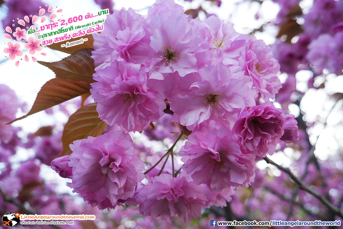 ชมซากุระได้ใกล้แค่ไหน ดูได้เลย : เที่ยวอาโอโมริ ซากุระกว่า 2,600 ต้น ที่ปราสาทฮิโรซากิ (Hirosaki Castle)