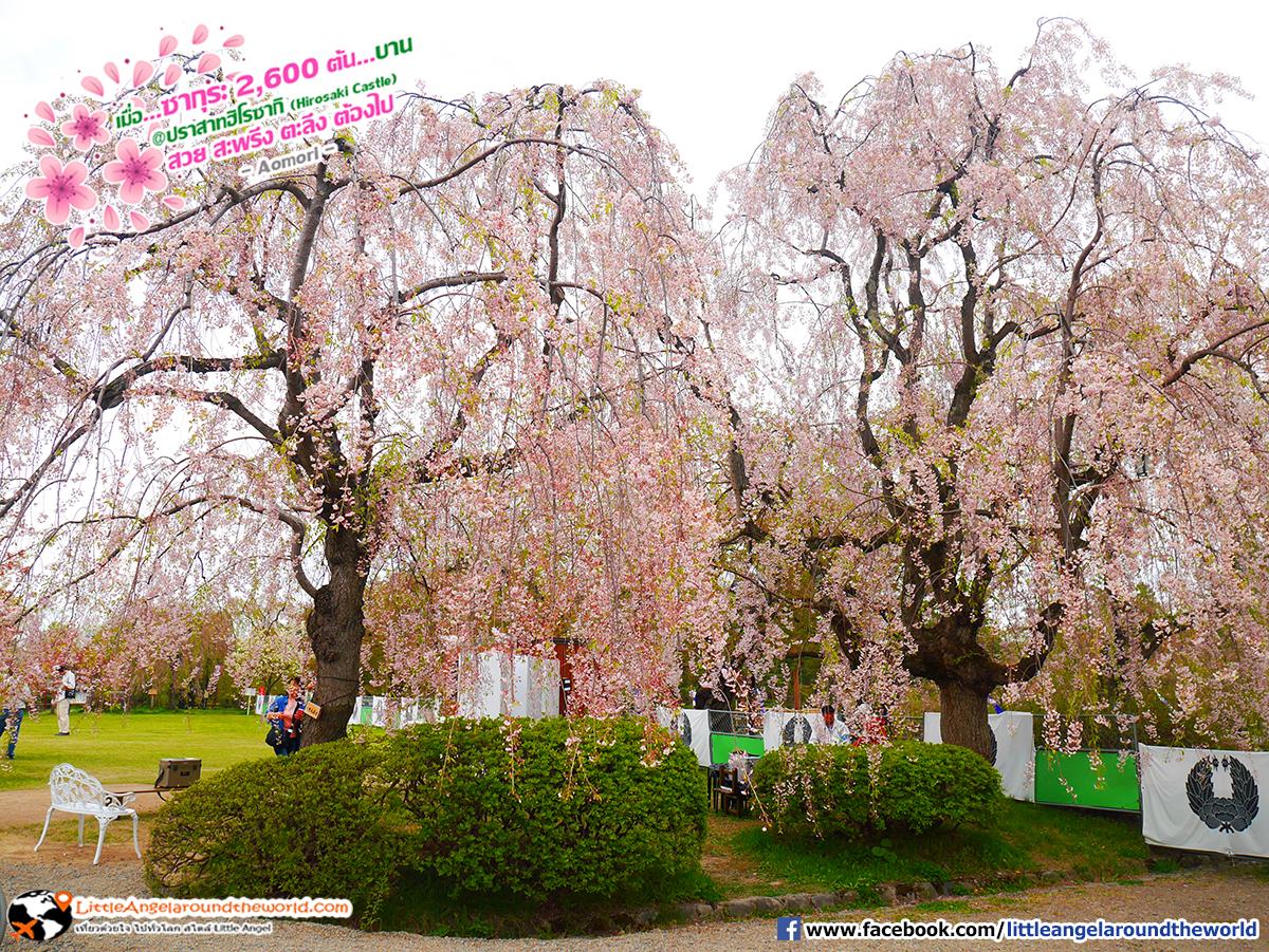 ซากุระบานแข่งกันเต็มต้น : เที่ยวอาโอโมริ ซากุระกว่า 2,600 ต้น ที่ปราสาทฮิโรซากิ (Hirosaki Castle)