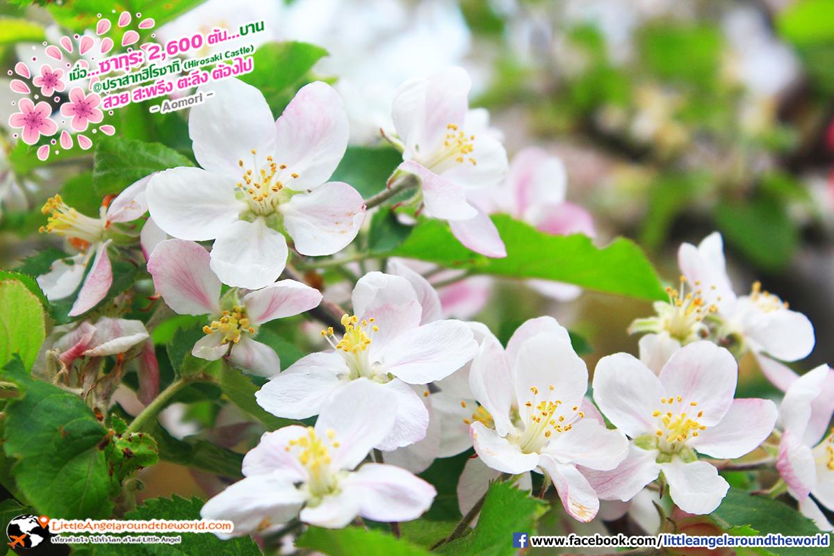 ดอกแอปฤเปิ้ล : เที่ยวอาโอโมริ ซากุระกว่า 2,600 ต้น ที่ปราสาทฮิโรซากิ (Hirosaki Castle)